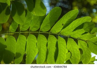 Robinia leaf