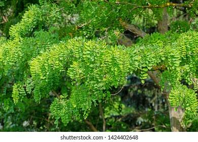 Robinia leaves, Robinia pseudoacacia, in summer