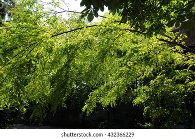 Robinia pseudoacacia, bended over the way in forest in spring