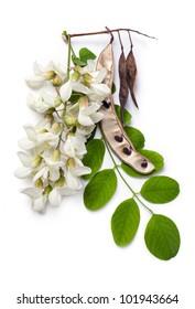Robinia pseudoacacia (Black Locust, False Acacia) flowers, leaf and seeds on a white background