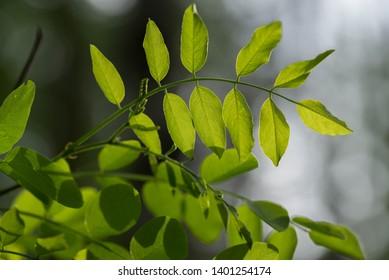Robinia pseudoacacia, black locust leaves closeup backlit