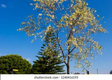 Robinia pseudoacacia, black locust, a tree of the genus Robinia in subfamily Faboideae pea family Fabaceae, the False Acacia or Locust Tree bursts into pure white raceme blossoms in early spring