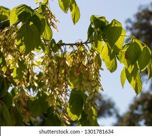 Robinia pseudoacacia, black locust, a tree of the genus Robinia in subfamily Faboideae pea family Fabaceae, the False Acacia or Locust Tree bursts into pure white raceme blossoms in early spring .
