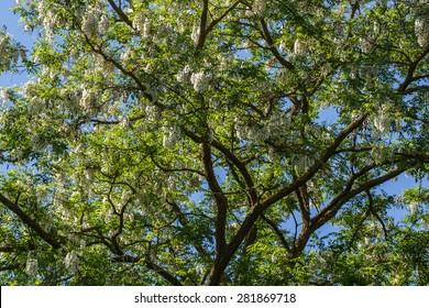 Robinia pseudoacacia in bloom.
