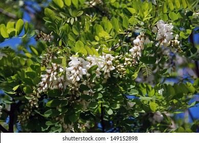 Robinia pseudoacacia in blossom in spring