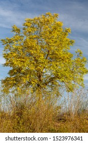 Robinia pseudoacacia changing the color towards golden in autumn. False acacia.