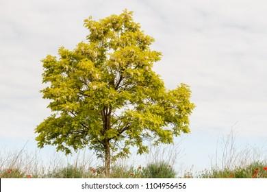 Robinia pseudoacacia in flower. False acacia.