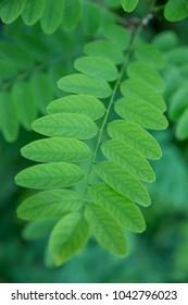 Robinia pseudoacacia leaves as a background texture. Selective soft focus