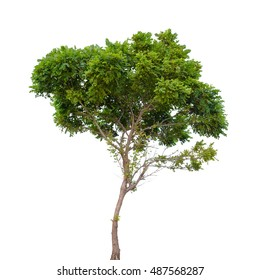 Robinia pseudoacacia. Small tree isolated on white background