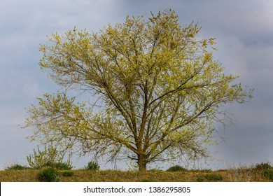 Robinia pseudoacacia. Tree with buds in spring. False acacia.