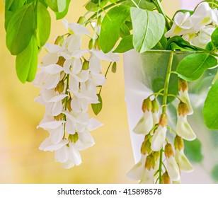 Robinia pseudoacacia tree flowers, know as black locust, genus Robinia, family Fabaceae, bokeh background