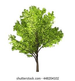 Robinia Tree Isolated on white background, 3D Illustration.