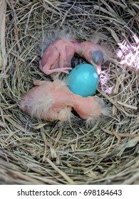 Robin's Nest with newly hatched babies.