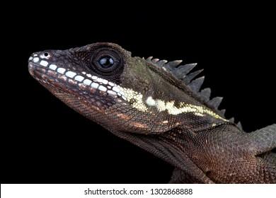 Robinson's Anglehead Lizard (Malayodracon robinsonii)