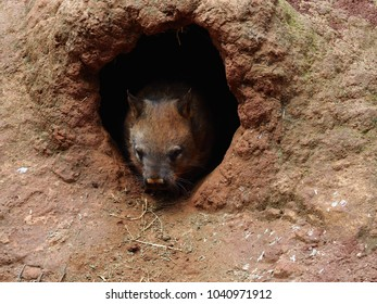 Robust Healthy Southern Hairy-Nosed Wombat Emerging from its Burrow.
