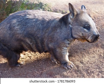 Robust Solid Handsome Southern Hairy-Nosed Wombat with a Sharp-Eyed Gaze.