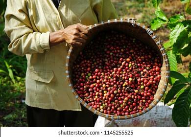 Robusta coffee from Banaran Coffee Village in Semarang, Central Java Indonesia