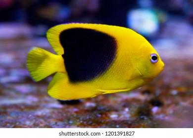 Rock Beauty Angel - Saltwater Fish