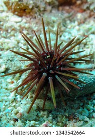 Rock boring urchin (Ehinometra cf mathaei) Taking in Red Sea, Egypt.