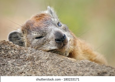 A Rock or Cape Hyrax (Procavia capensis) sleeps on a rock in the Serengeti in Tanzania, Africa. These primitive mammals are often mistaken for rodents, but are more closely related to elephants.