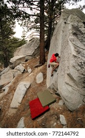 Rock climber ascends a crack on a large boulder in a pine forest.