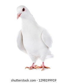 Rock dove in front of white background