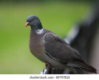 Rock dove in the park