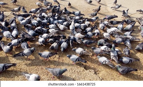 The Rock Dove Pigeon or common Pigeon.