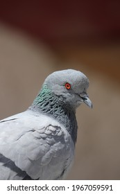 The rock dove, rock pigeon, or common pigeon is a member of the bird family Columbidae. In common usage, this bird is often simply referred to as the
