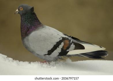 The rock dove, rock pigeon, full body of speed racing pigeon in winter.
