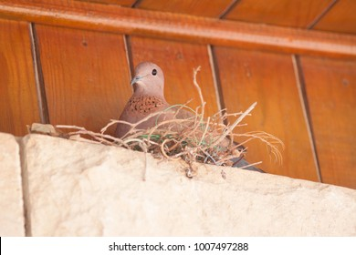Rock Dove/Pigeon nests in the eaves of a house in Egypt