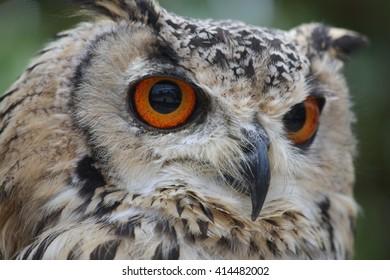 Rock Eagle Owl,Bubo bengalensis