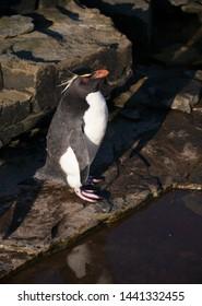 rock hopper penguins on sea lion islands, falkland islands, south atlantic