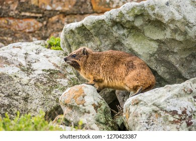 Rock hyrax, or rock badger (Procavia capensis) sitting on the rocks