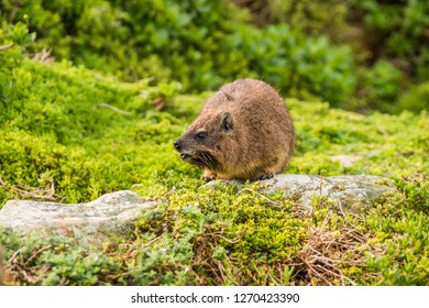 Rock hyrax, or rock badger (Procavia capensis) sitting on green grass background