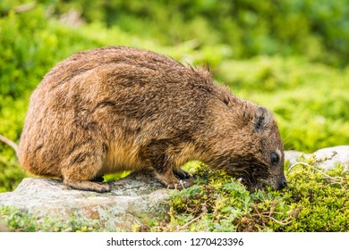 Rock hyrax, or rock badger (Procavia capensis) eating