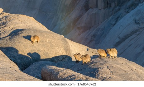 Rock Hyrax or Dassies on a cliff ledge below Augrabies Falls in South Africa.