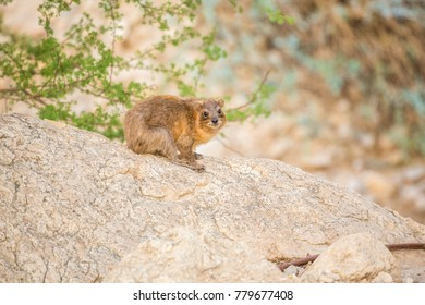 Rock Hyrax in Ein Gedi National Reserve, Israel, Middle East