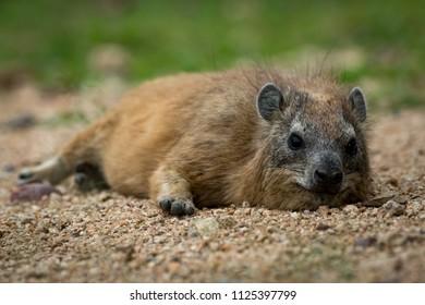 Rock hyrax facing camera lying on sand