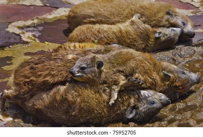 Rock hyrax family lounging in the sun on top of each other, in Serengeti National Park, Tanzania.