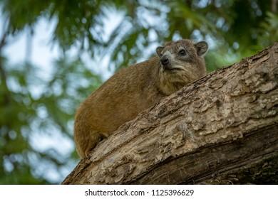 Rock hyrax lying on branch among leaves