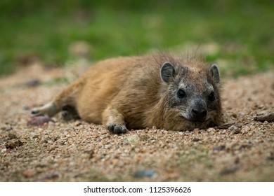 Rock hyrax lying on sand facing camera