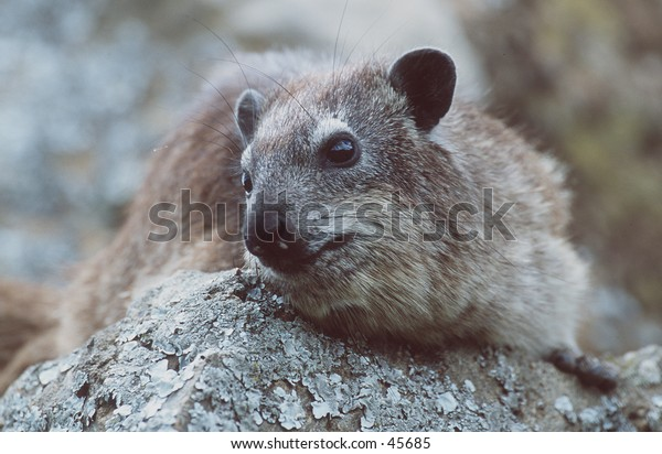 Rock Hyrax Portrait