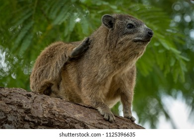 Rock hyrax scratching itself on thick branch