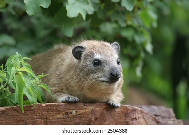 A rock hyrax in the Serengeti National Park