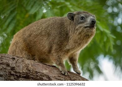 Rock hyrax sitting on thick tree branch
