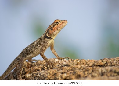 Rock lizard, Archaeolacerta bedriagae, is a species of lizard in the family Lacertidae. The species is monotypic within the genus Archaeolacerta. It is only found on the islands Corsica and Sardinia.