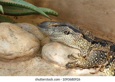 Rock Monitor Lizard lying on a rock in the sun