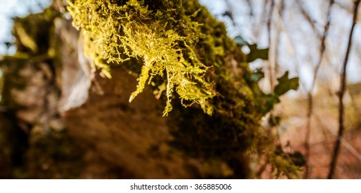 Rock moss on trees in the forest