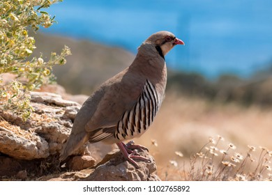 rock partridge of the Balkan steppes greece cape sounion and the temple of poseidon